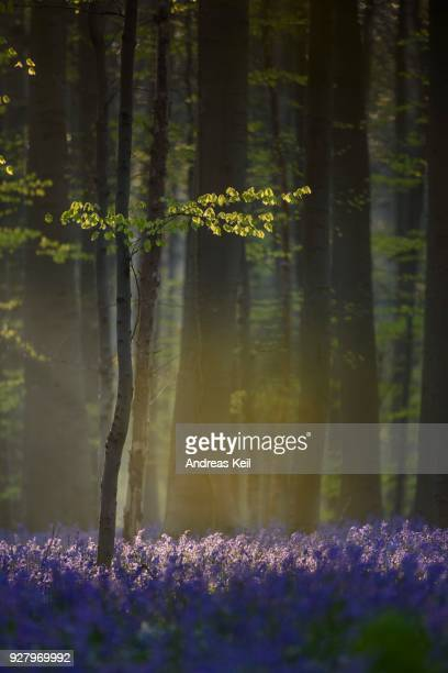 Beech tree (Fagus) with bluebells (Hyacinthoides non-scripta) in Hallerbos, forest near Halle, Brabant, Belgium