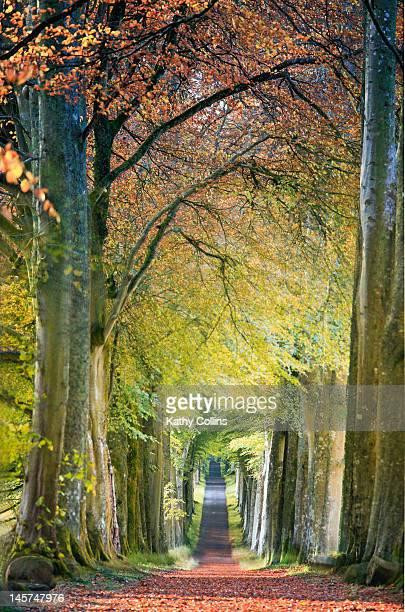 Beech tree-lined avenue