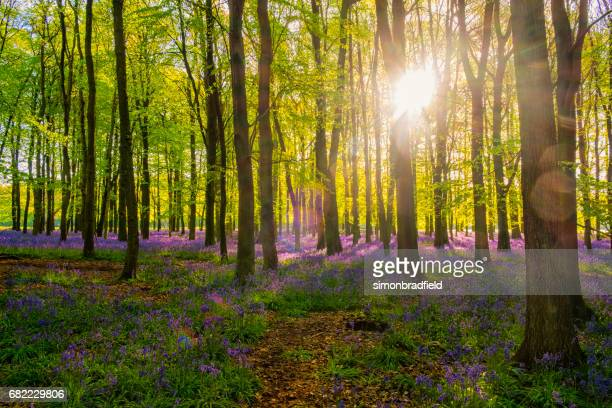 beech trees and bluebells - bluebell wood stock pictures, royalty-free photos & images