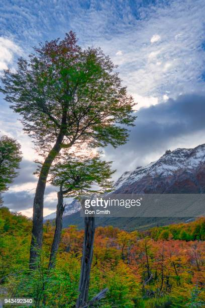 beech trees and fall color - don smith stock pictures, royalty-free photos & images