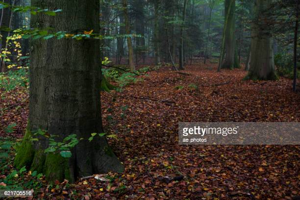Beech trees and foliage in foggy autumn forest