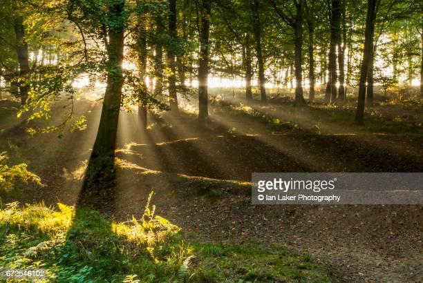 Beech trees backllt by evening sun. King's Wood, Challock, Kent, England, UK.
