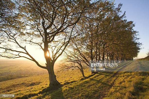 Beech Trees, Fagus sylvatica, Contre jour, Draycott Sleights, Cheddar, Somerset, England, United Kingdom