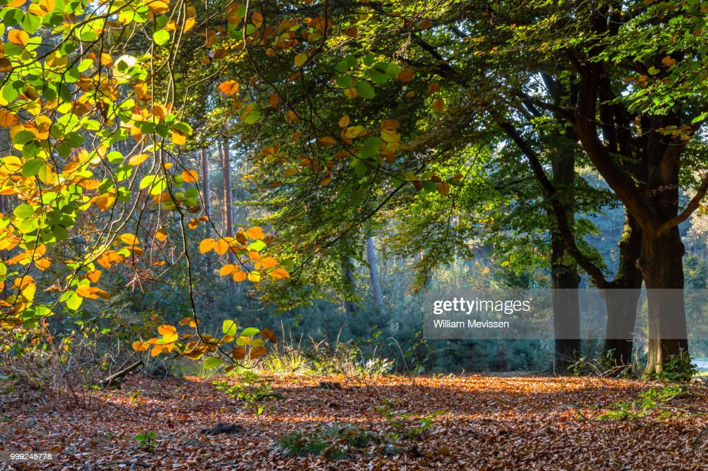 Beech Trees Fall Foliage : Stockfoto
