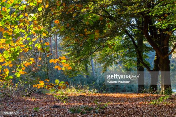 Beech Trees Fall Foliage