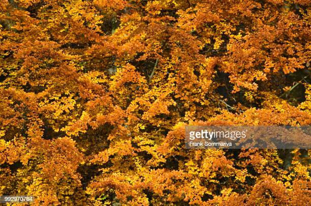 beech (fagus sylvatica) trees in autumn colours, unesco world natural heritage site, nationalpark hainich, thuringia, germany - nationalpark stock pictures, royalty-free photos & images