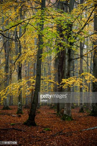beech trees in autumn in fog and dim light - vaxjo stock pictures, royalty-free photos & images