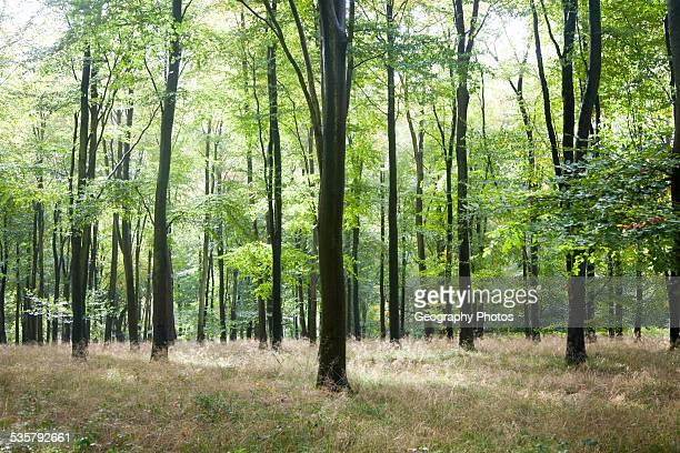 Beech trees in early autumn Savernake forest near Marlborough Wiltshire England UK