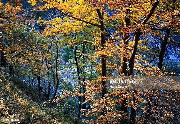 Beech trees (Fagus sp.) in forest, autumn, Skane, Sweden