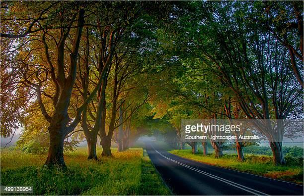 Beech trees in mist, Dorset, England