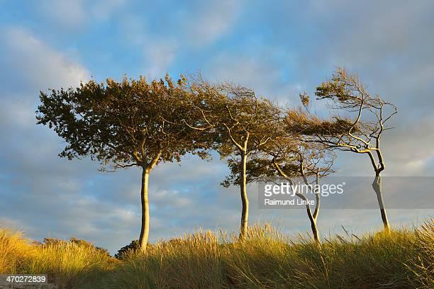 beech trees - fischland darss zingst photos et images de collection