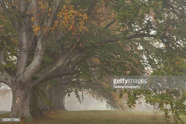 beech trees - frilly stock photos and pictures