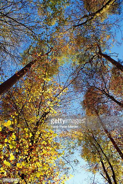 beech trees with autumnal foliage in forest