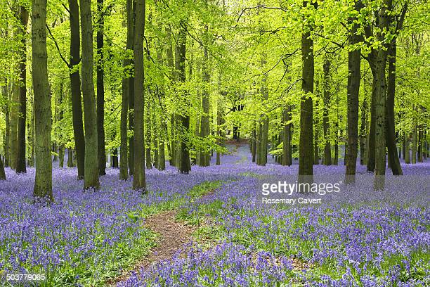 beech wood with bluebells & winding path in spring - bluebell wood stock pictures, royalty-free photos & images