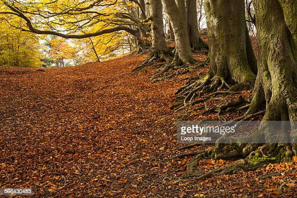 Beech woodland at Sharpenhoe Clappers in the Chiltern Hills