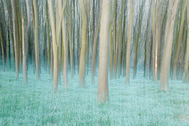 Beech woodland in Springtime.