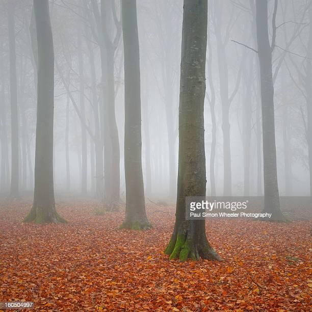 Beech Woodland in the Autumn Mist