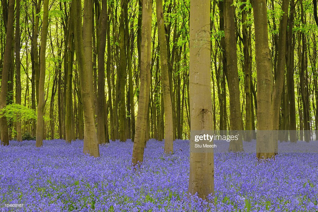 Beech woodland with bluebell carpet : Stock Photo