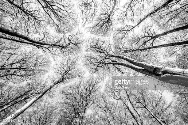 Beeches photographed vertically from the forest floor against a clear sky.