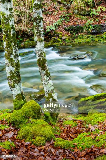 Beechwood and river Cabuerniga Valley Cantabria Spain