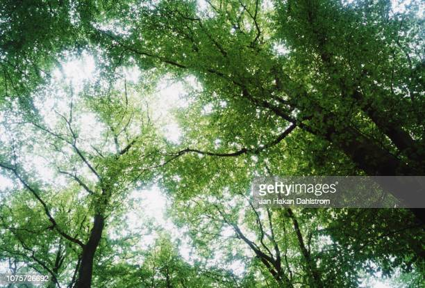 beechwood tree crowns against sky - beech tree stock pictures, royalty-free photos & images