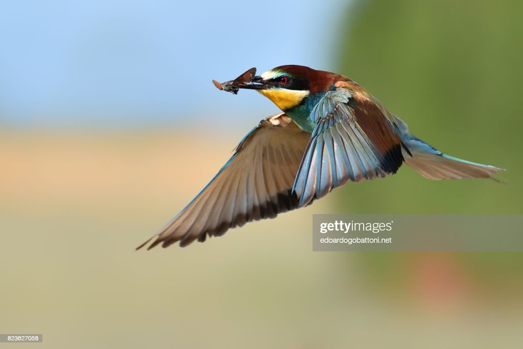 Bee-eater in flight : Foto stock