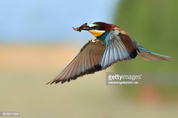 Bee-eater in flight