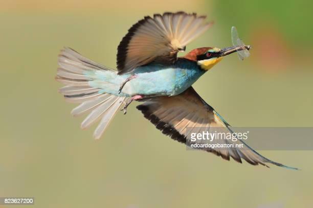bee-eater in flight - edoardogobattoni fotografías e imágenes de stock