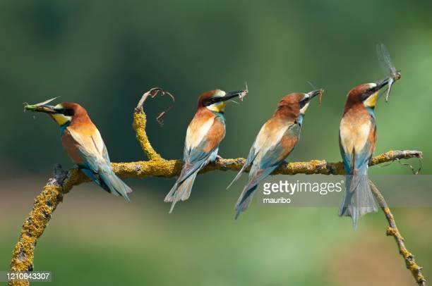 bee-eater (merops apiaster) - small group of animals stock pictures, royalty-free photos & images