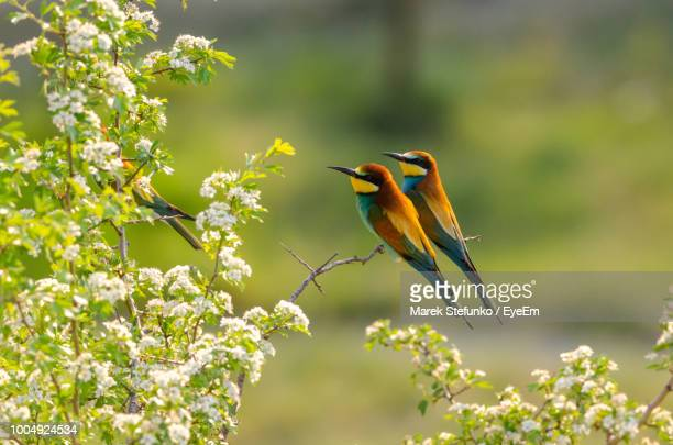 bee-eaters perching on plant - marek stefunko imagens e fotografias de stock