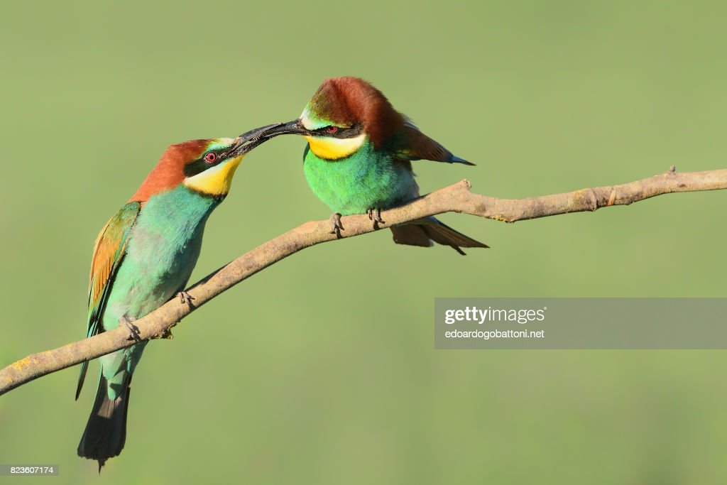 Bee-eaters's gift : Foto stock