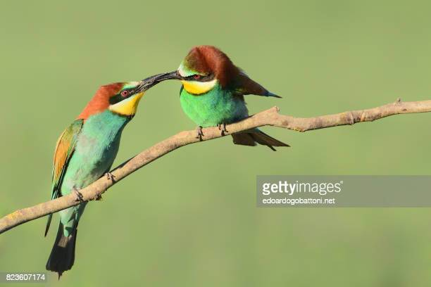 Bee-eaters's gift