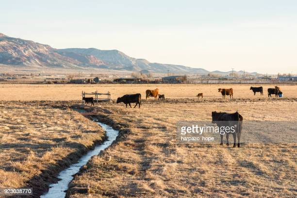 Beef cattle and canal in a field in Utah.