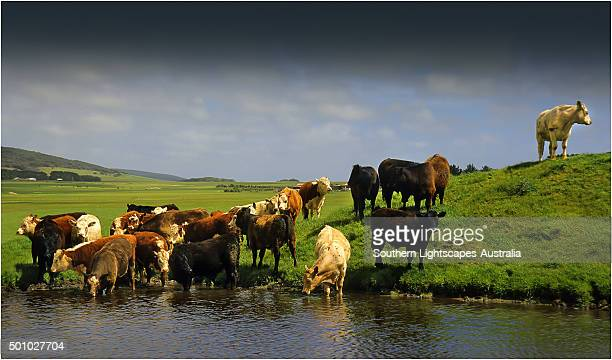 Beef cattle drinking from a dam on a lush grassland property, Darling Ranges, Flinders Island Tasmania.