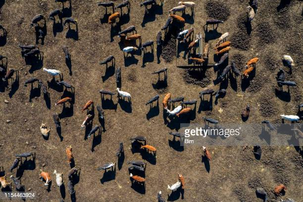 beef cattle from above - factory farming stock pictures, royalty-free photos & images