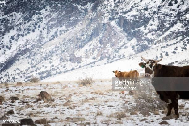 Beef cattle in snowy mountain landscape.