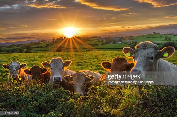 Beef cattle line up along a hedge at sunset