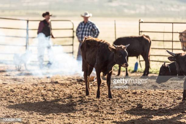 Beef Cattle on a Ranch in a Pen