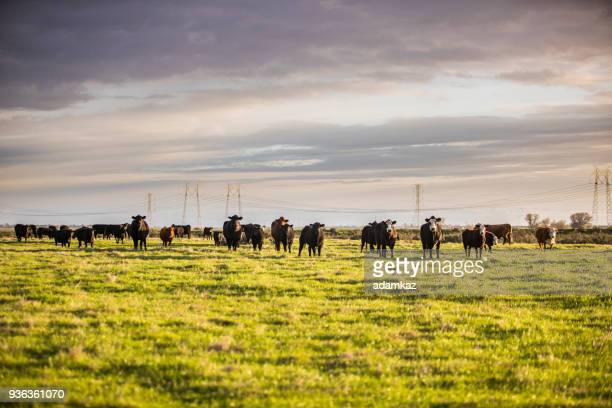Beef Cattle Open Range on Large Ranch