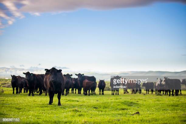 beef cattle open range on large ranch - pasture stock pictures, royalty-free photos & images
