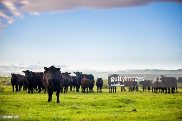 köttdjur öppna utbud på stora ranch - biffkor bildbanksfoton och bilder