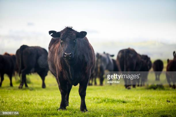 beef cattle open range on large ranch - cattle stock pictures, royalty-free photos & images