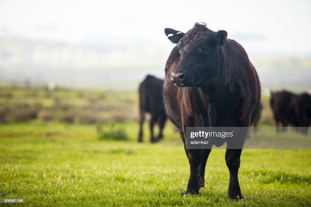 Beef Cattle Open Range on Large Ranch : Stock Photo