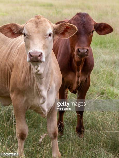beef cattle - ranch stock pictures, royalty-free photos & images