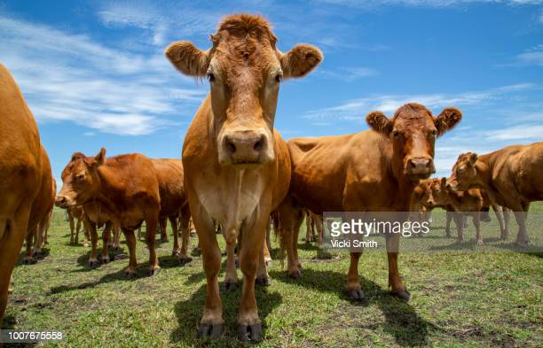 beef cattle - livestock stock pictures, royalty-free photos & images