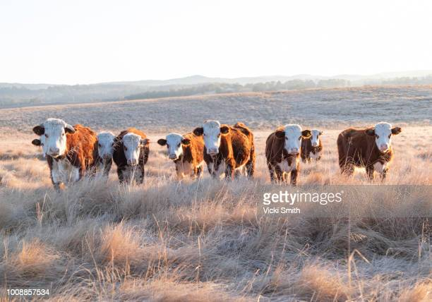 beef cattle - bull animal stock pictures, royalty-free photos & images