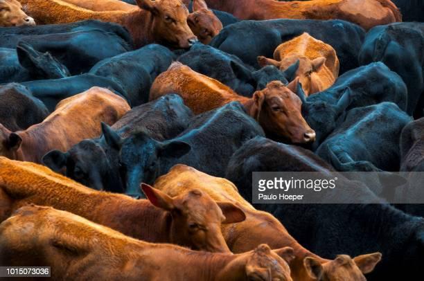 beef cattle - pampa stock-fotos und bilder