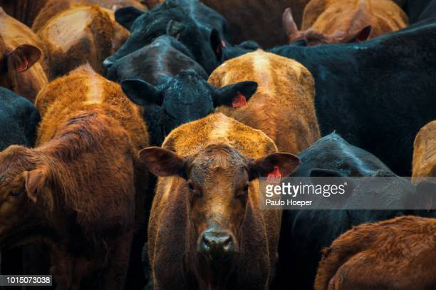beef cattle - biffkor bildbanksfoton och bilder