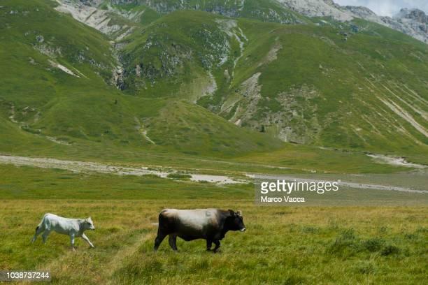 beef cattle - カンポ・インペラトーレ ストックフォトと画像