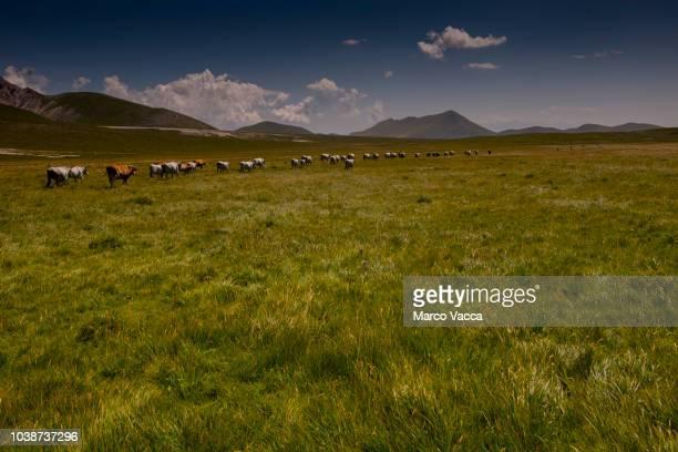 beef cattle - parco nazionale del gran sasso e monti della laga foto e immagini stock
